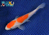 "5.75"" KOHAKU - Koi To The World - 4"
