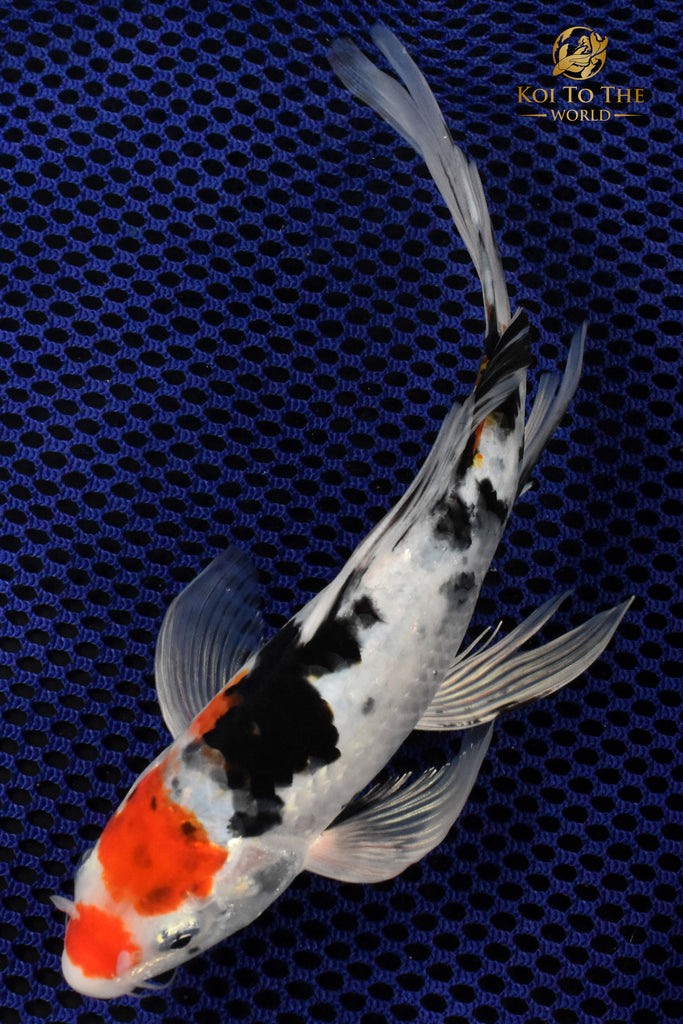 Koi fish for sale koi fish fancy goldfish butterfly for Baby koi for sale