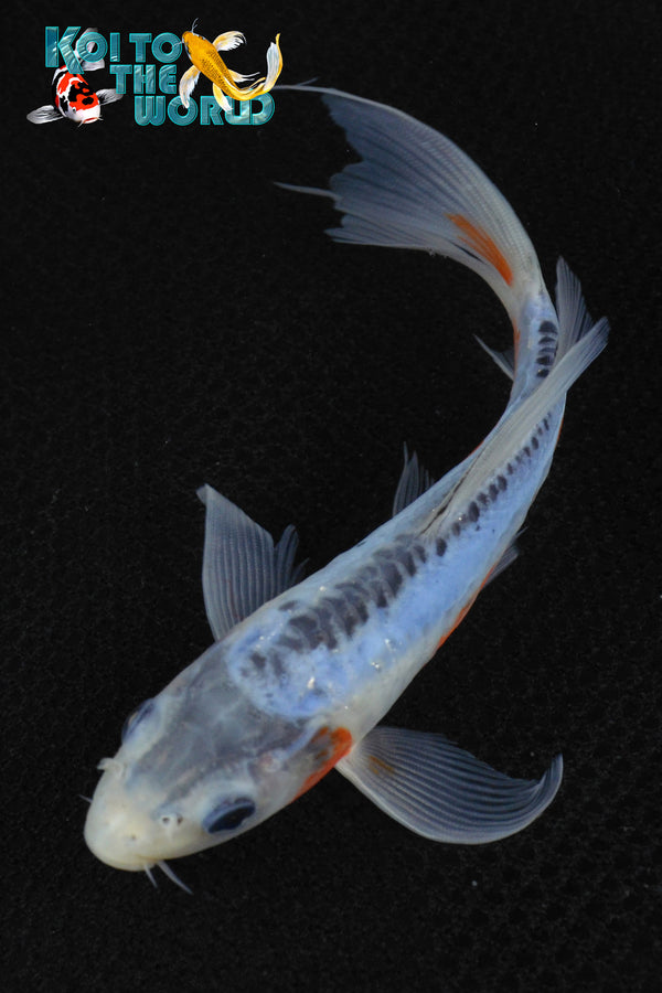 "6.75"" SHUSUI BUTTERFLY - Koi To The World - 1"