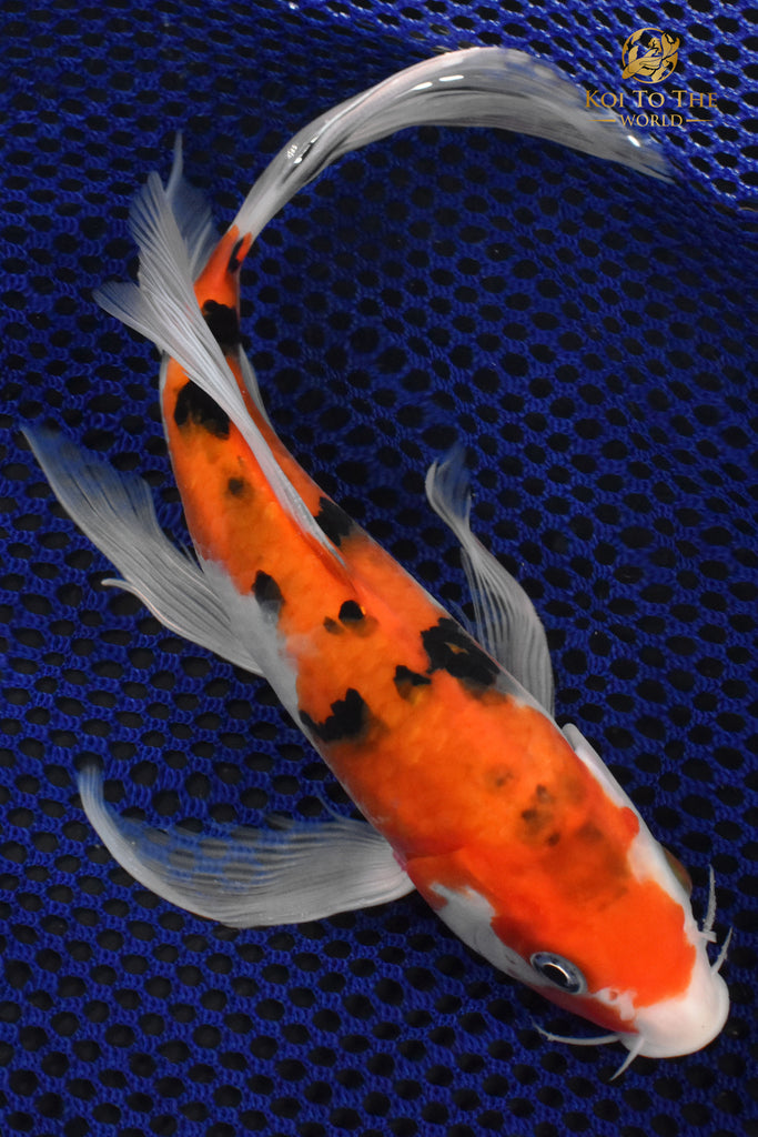 Koi fish for sale koi fish fancy goldfish butterfly for Koi for sale