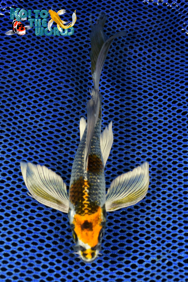 "7.75"" BENI GINGA BUTTERFLY - Koi To The World - 1"