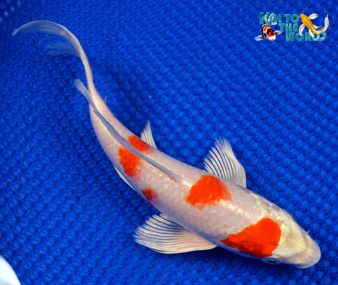"8"" HARIWAKE BUTTERFLY 1520 - Koi To The World - 1"