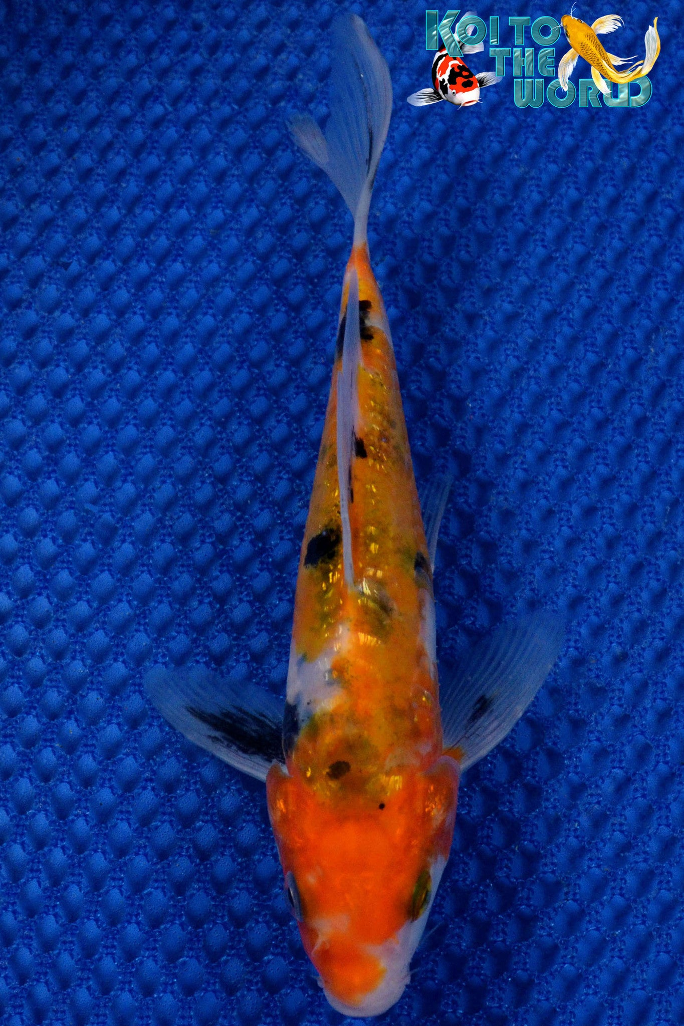"6.25"" GINRIN SANKE BUTTERFLY - Koi To The World - 1"