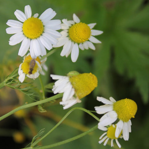 Chamomile, German (Out of stock)