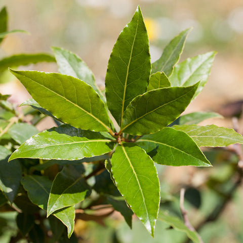 Bay Laurel or Laurel Leaf