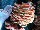 Chicken of the Woods</h1><br>August-October