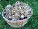 Maitake (Hen of the Woods)