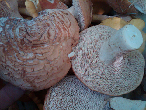 Hedgehog Mushrooms</h1><br>December-March