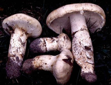 Matsutake Mushrooms</h1><br>Oct/Dec-January