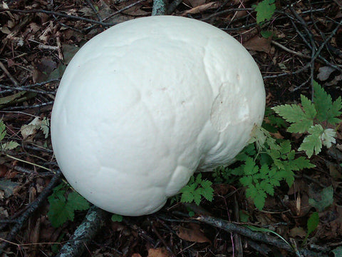 Puffball Mushrooms</h1><br>August-September