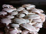 Fresh Shiitake mushrooms growing at Forest Mushrooms, Inc.