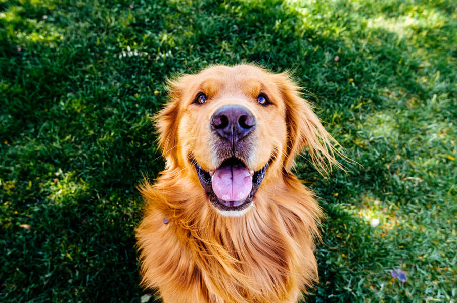 5 Proven Ingredients for Fido's Liver Health