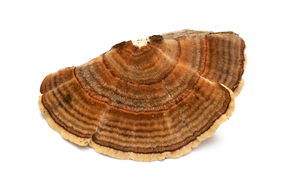 Organic Turkey Tail