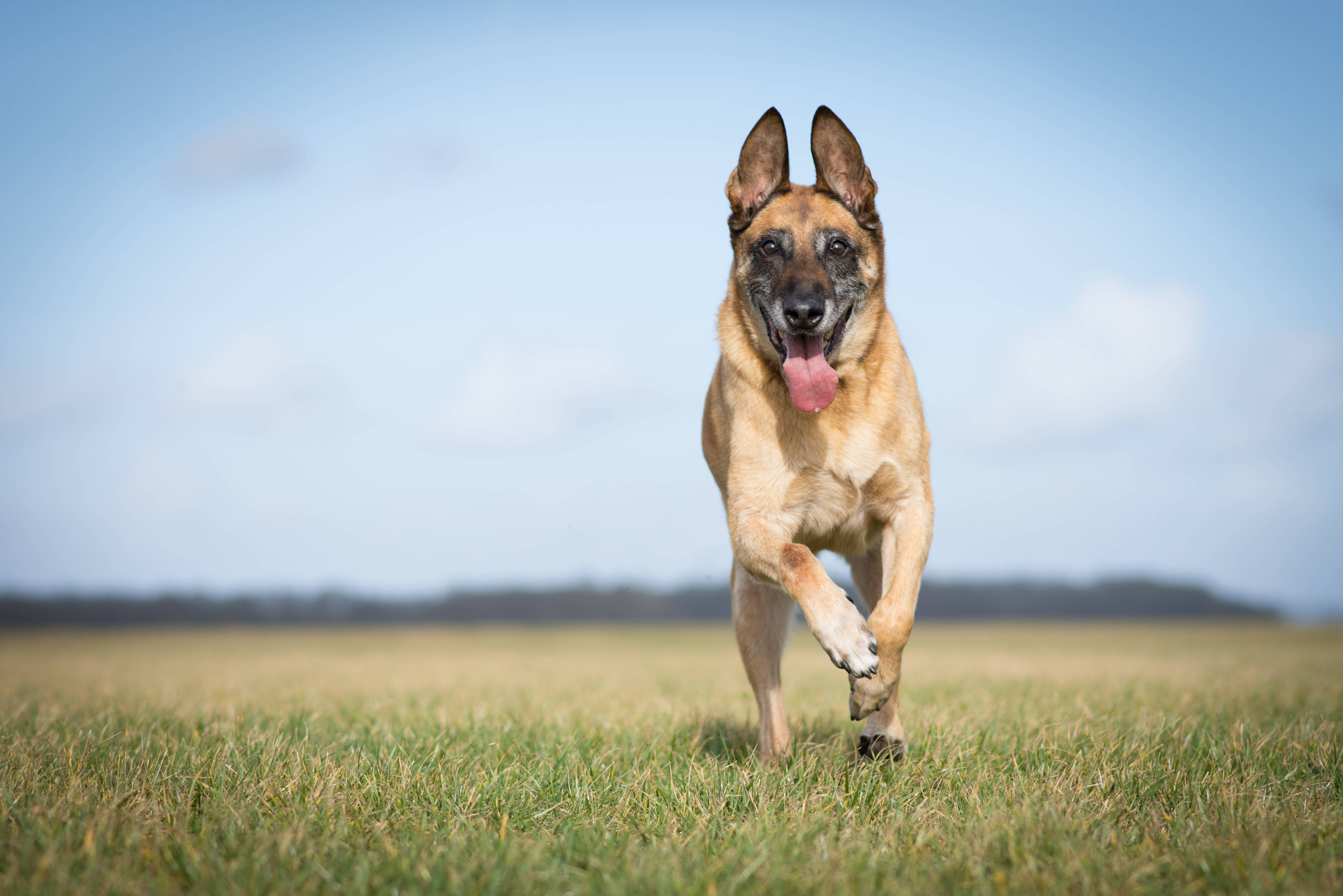 German Sheppard Running in Field