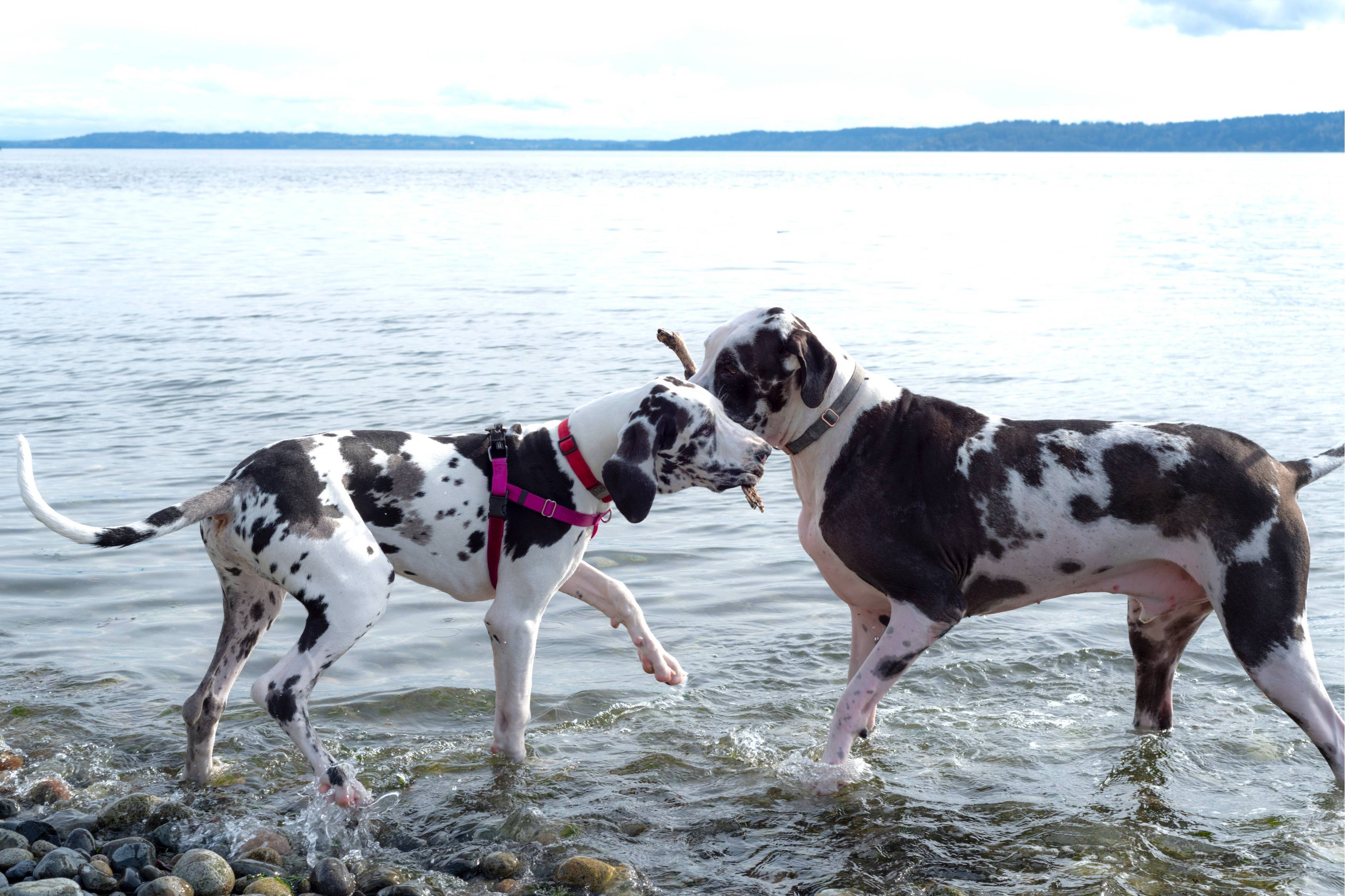 Great Danes with Stick
