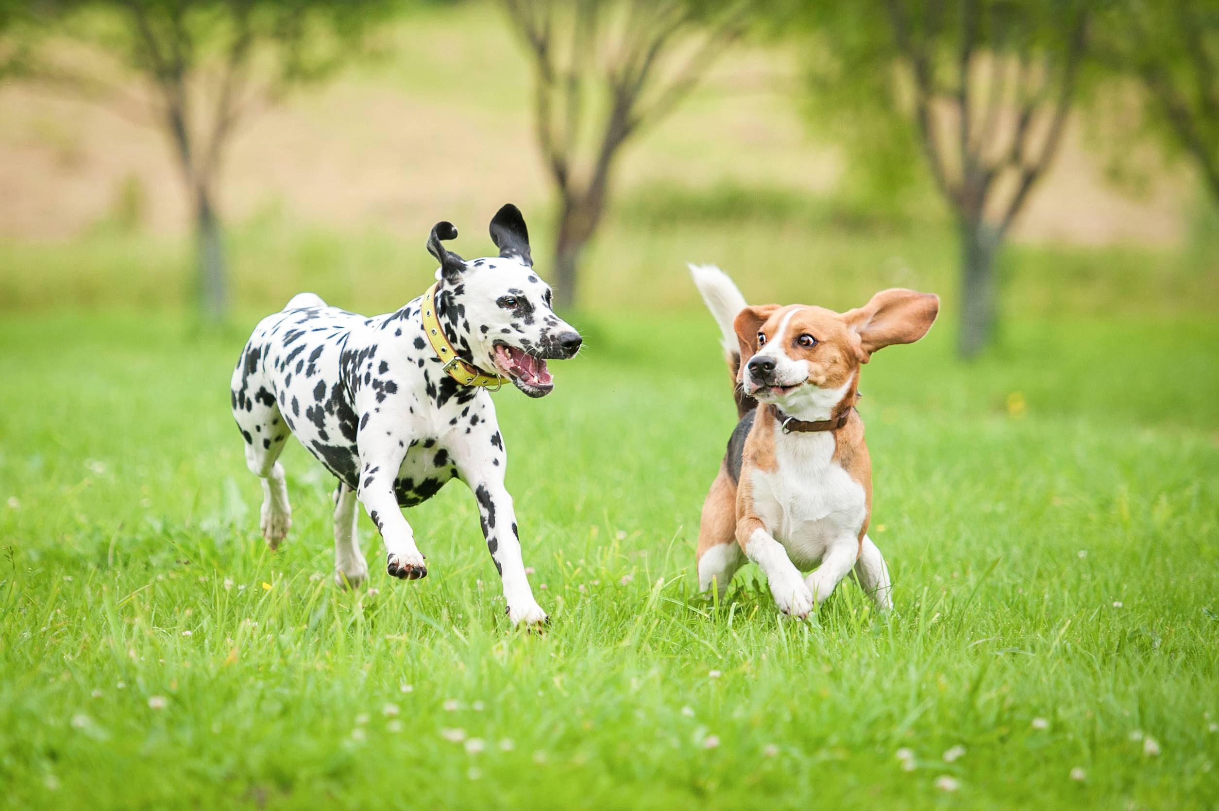 Hemp Multivitamin Bites - two dogs playing in a field