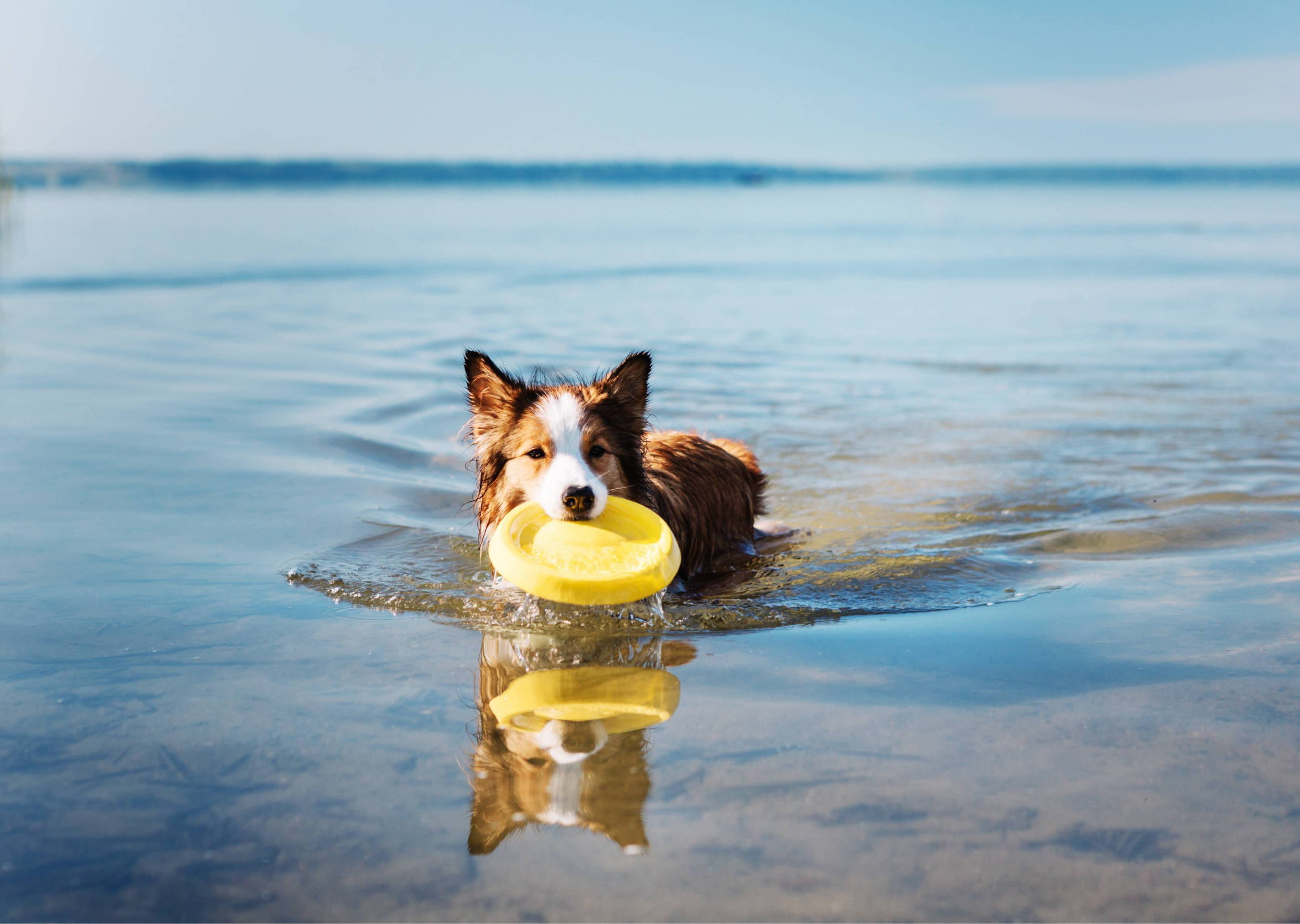 Green-Lipped Mussel Bites™ - Dog in water with frisbee