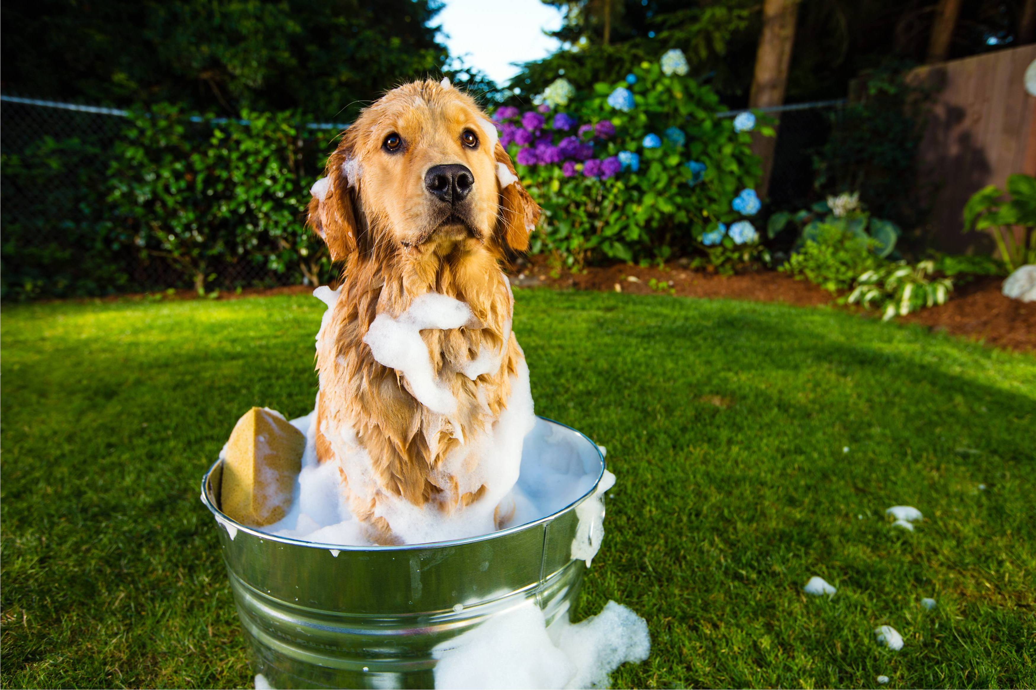 Dog Shampoo - golden in a bucket