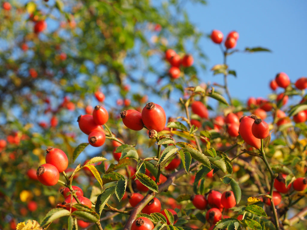 Bloom of the Week: Rosehip