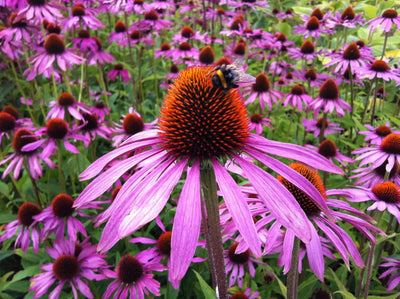 Bloom of the Week: Coneflower