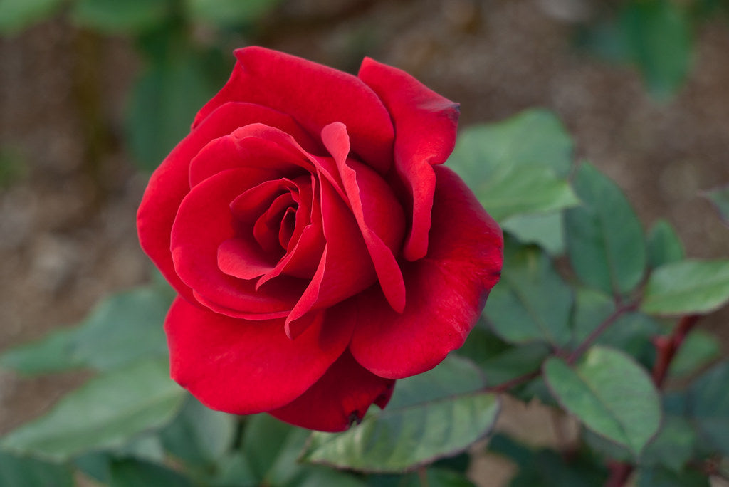 Bloom of the Week: Red Rose