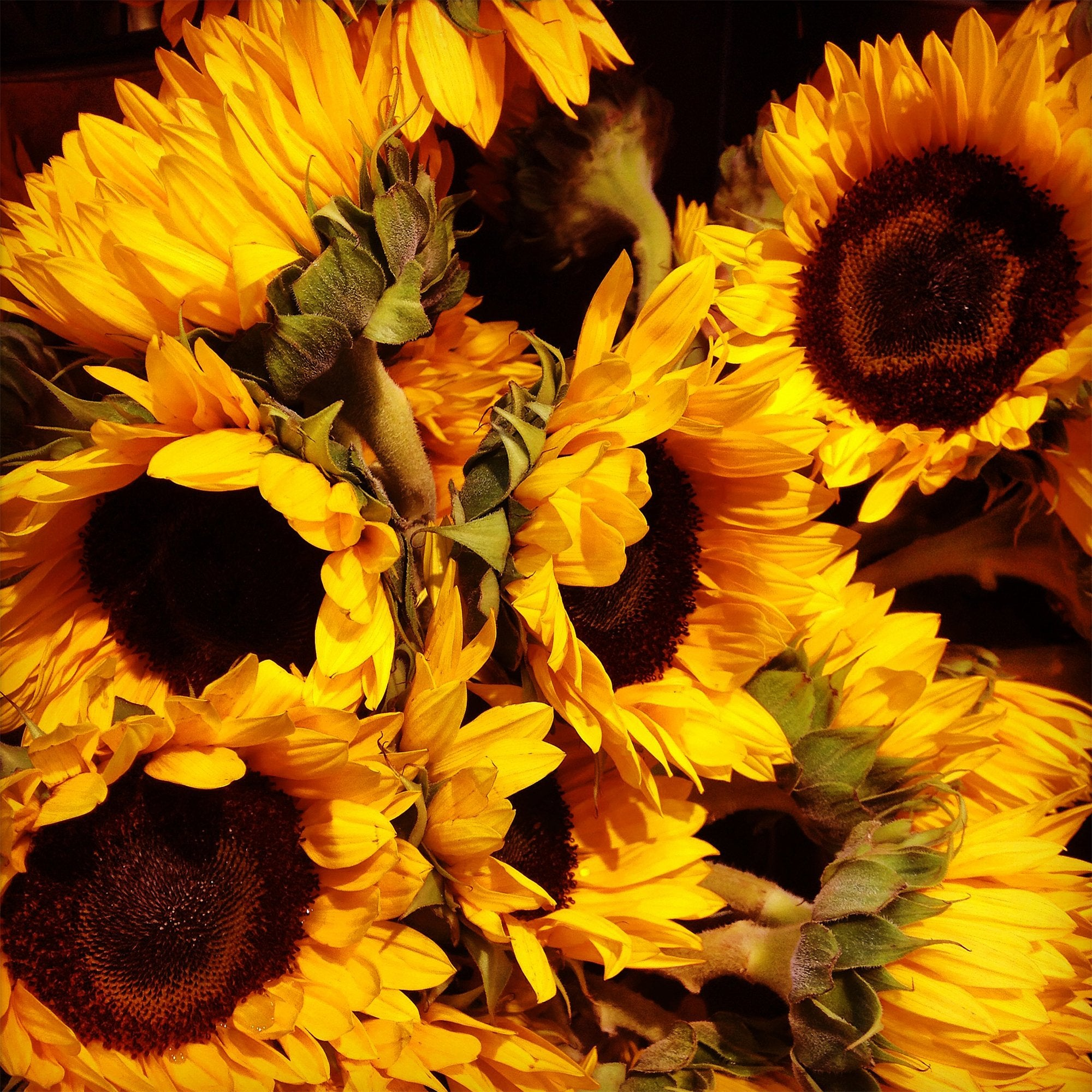 Bloom of the Week: Sunflower