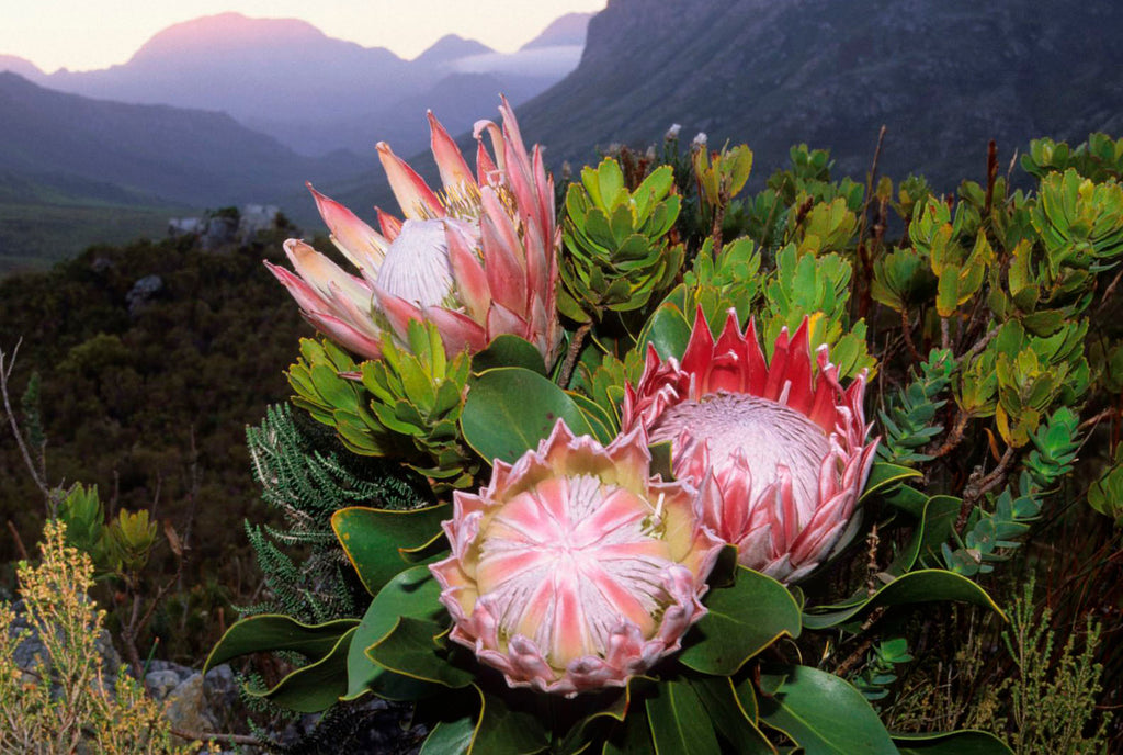 Bloom of the Week: King Protea
