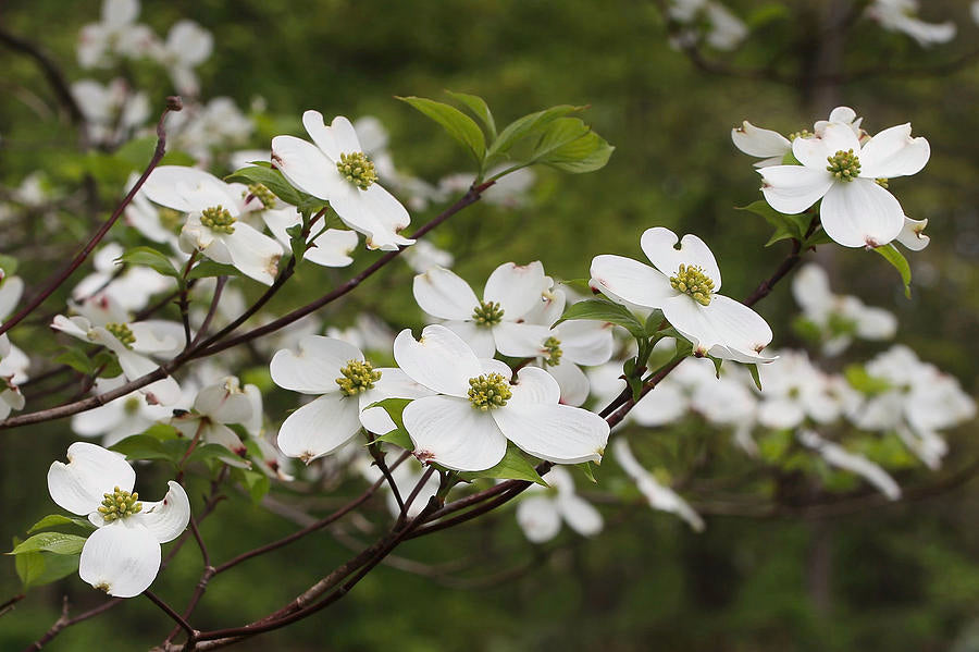 Bloom of the Week: Dogwood