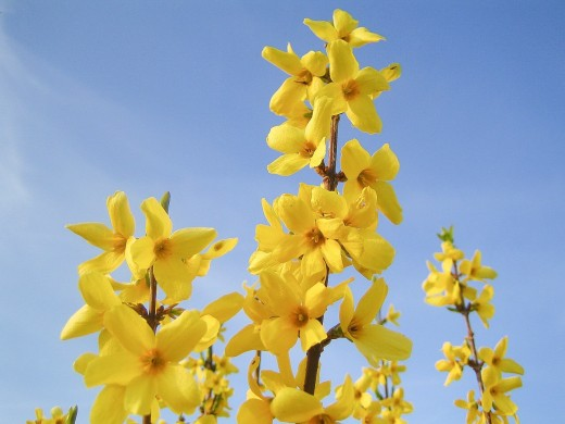 Bloom of the Week: Forsythia