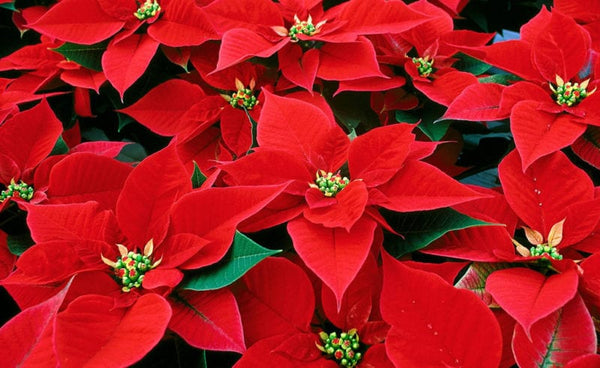 Bloom of the Week: Poinsettia
