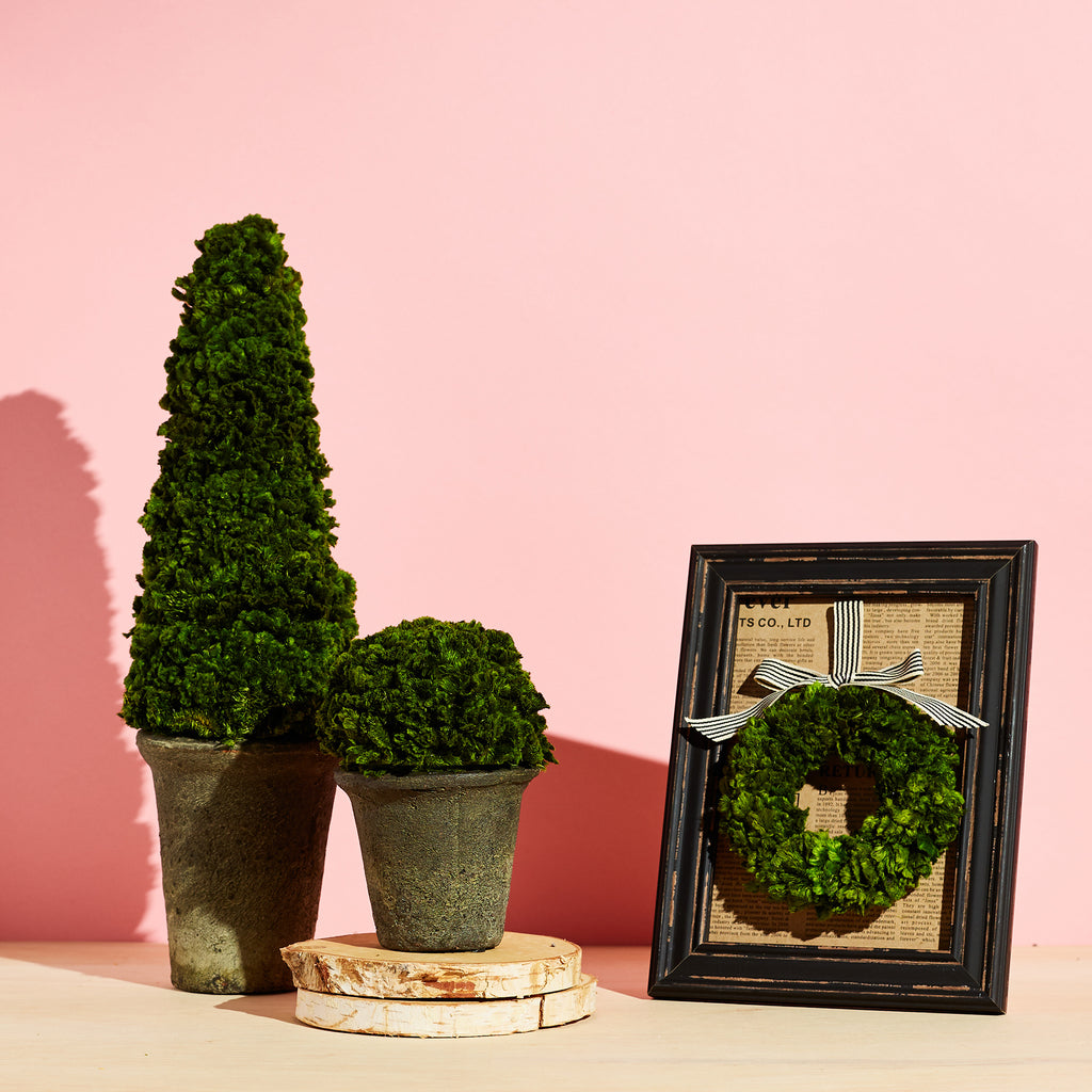 Preserved Celosia Moss Cone Topiary in Clay Pot Tabletop Decor