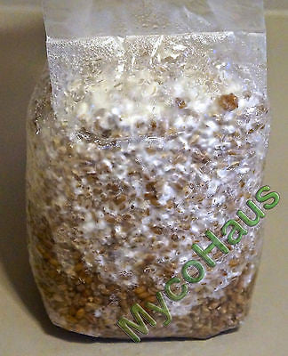 one pound sterilized rye grain berries substrate, mushroom growing spawn bag