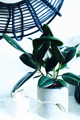 Ficus robusta - rubber plant