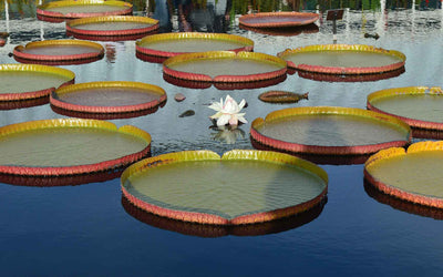 FIND TRANQUILITY AT THE NYBG WATER LILY POOLS
