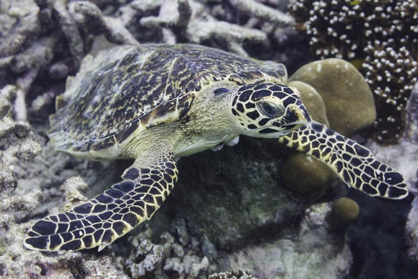 THE SEA TURTLE CONSERVANCY