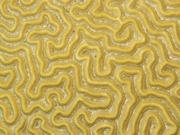 strigosa brain coral
