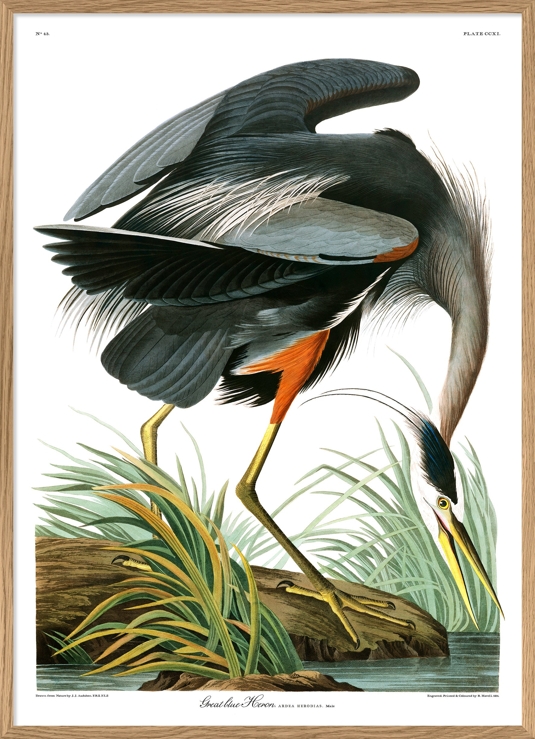 "Great Blue Heron Printed Poster 30x40cm 12x16"" Birds of America in Canada"