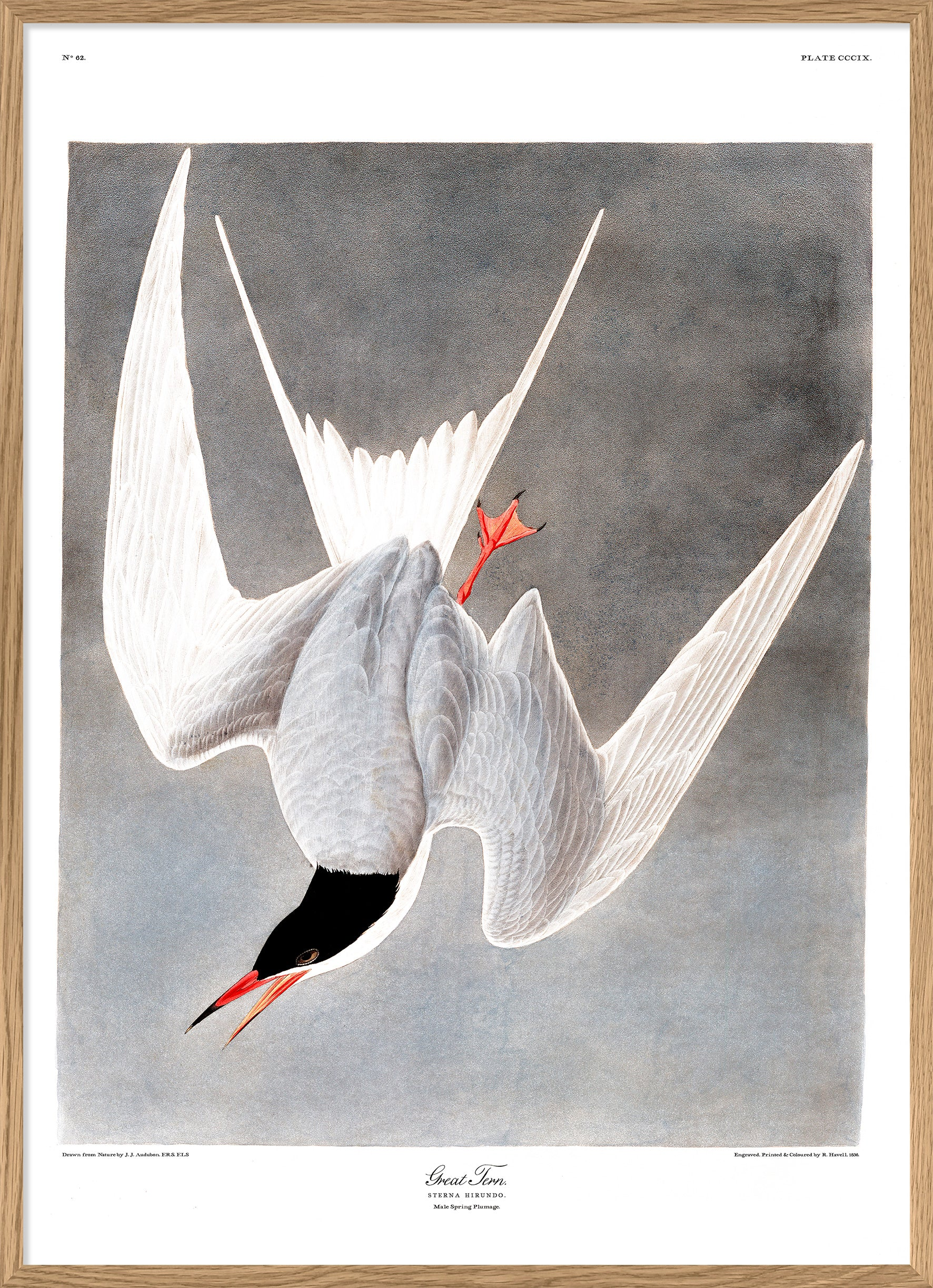 "Great Tern Art Poster Print 30x40cm 12x16"" Dybdahl now in Canada"