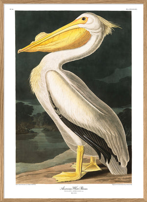 "American White Pelican Poster Print 12x16"" 28x40"" Dybdahl now in Canada"