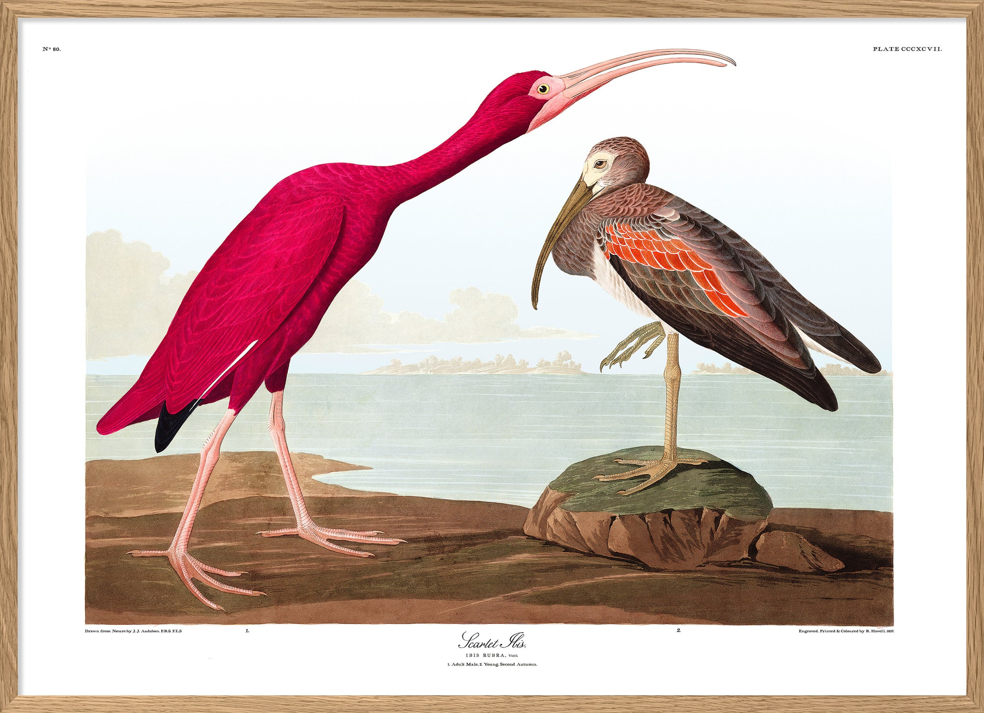Audubon reproduction Scarlet Ibis pink bird poster print dybdahl birds of america collection