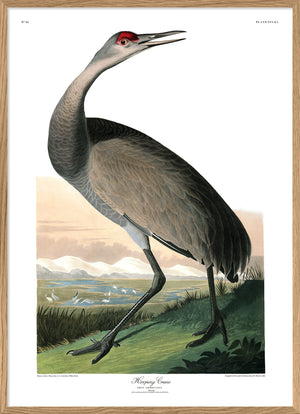 Hooping Crane Audubon Reproduction Print Poster from Dybdahl Birds of America Series