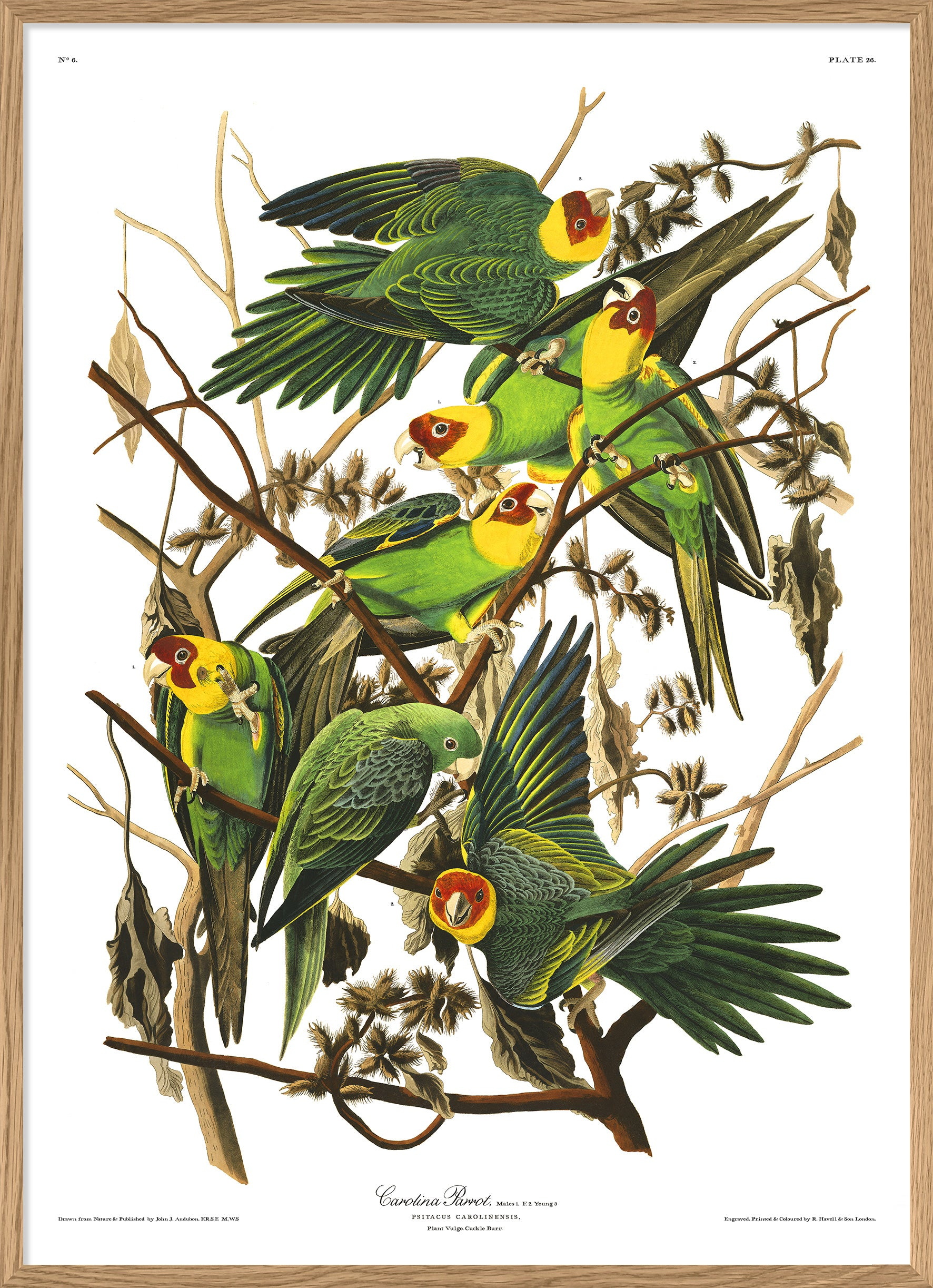 Audubon reproduction Carolina Parrot print Poster from Dybdahls Birds of America Series
