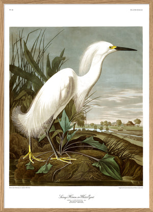Audubon reproduction snowy heron print poster from Dybdahl birds of america series