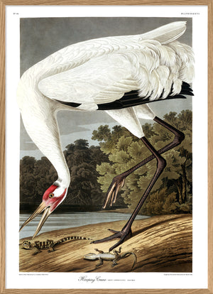 Audubon Whooping Crane Reproduction poster print from Dybdahls Birds of America Series