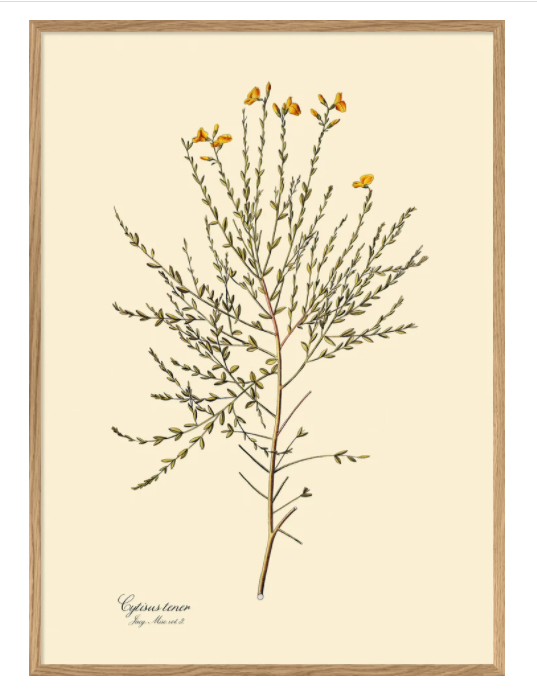 Cytisus Tener Botanical Print ships from Canada worldwide including the USA poster