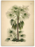 Palm tree botanical print large ships from canada worldwide Livistona Humilis poster