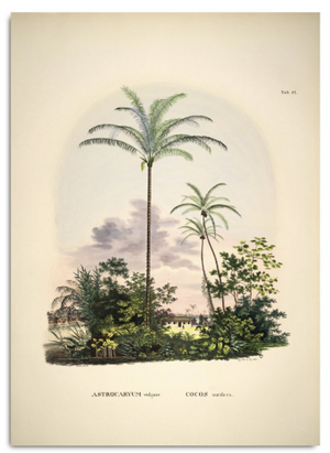 ASTROCARYUM VULGARE COCOS NUEIFARE. BOTANICAL PALM PRINT Poster 50x70cm canada