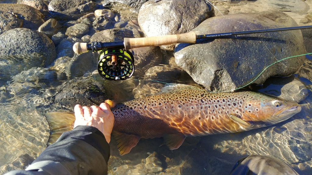 Chilean brown trout.
