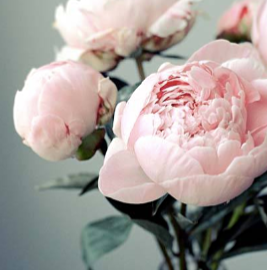 Peonies! {Pre-order for early November}