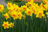 St Davids Day blog Welsh daffodils